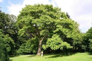 Császárfa, mint fûrészáru